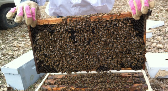 Deep frame covered with bees before there is any brood or honey present