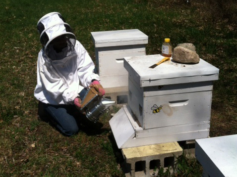 Beekeeper putting smoke into a deep before removing the lid and working with the hive