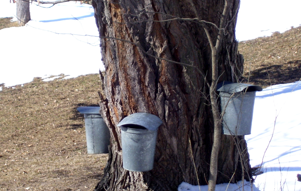 Making Maple Syrup 1