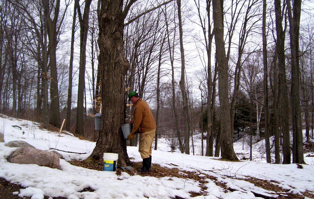 Making Maple Syrup 2